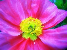 Icelandic Poppy with some Picasa play.
