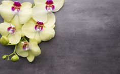 Download wallpapers yellow orchid, tropical flowers, branch, gray background