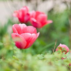 prettylittleflower:  pink tulips by mellonicoley_ on Flickr.