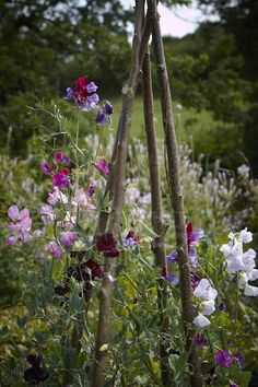 Sweet peas on a hazel frame at Allt-y-bela Photo: Britt Willoughby Dyer - My Cottage Garden Small Flower Gardens, Small Flowers, Flowers Garden, Summer Flowers, Cut Flowers, Amazing Gardens, Beautiful Gardens, Beautiful Flowers, Garden Shrubs