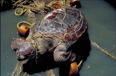 We need to think about our we are affecting the environment. This poor turtle is trapped by a rope a human has left in the ocean...