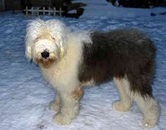 Old English Sheepdogs - Max
