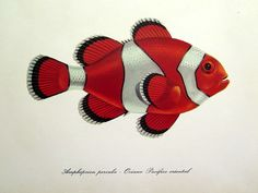 1975 Vintage FISH print antique Clownfish by LyraNebulaPrints