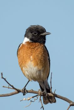 The African Stonechat - Saxicola torquatus; is a species of the Old World Flycatcher family (Muscicapidae) inhabiting sub-Saharan Africa and adjacent regions. Photo Jonathan Sellors.