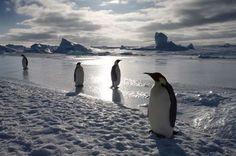 Pinguinos en antártida, tomando un descanso  taking a nap