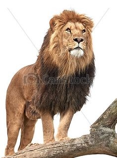 Sold today @Canstockphoto: #lion #male #king #animal #wildlife http://www.canstockphoto.com/lion-panthera-leo-22201617.html