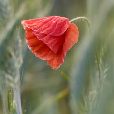 red poppies - red poppies