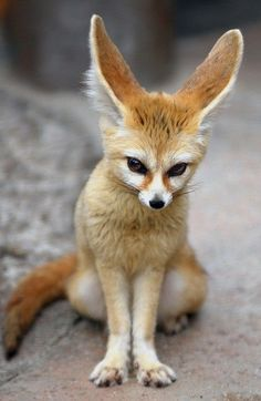 Cute little Fennec fox.