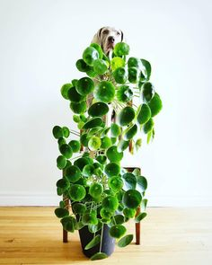 Chinese Money Plant - Pass It On Plant - Pilea peperomioides Outdoor Plants, Air Plants, Potted Plants, Plants Indoor, Foliage Plants, Indoor Gardening, Indoor Herbs, Succulents Garden, Garden Plants
