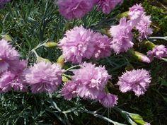Karanfil - Dianthus - Cvijet.info FORUM - Stranica 7