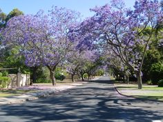 Jacaranda Trees, Applecross, Perth, Western Australia .... They are all over Perth.