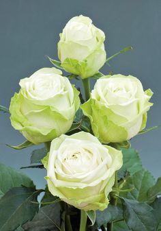 Osiria rose. looks like a cabbage :D