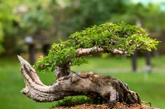 Bonsai, Prague, Botanical Gardens, My Photos, String Garden