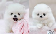 Teacup white Pomeranian my goodness two for one love it.