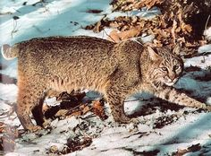 Bobcat Walking in the Forest
