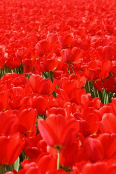 Tulips fields on the Bollenstreek route, Nederlands