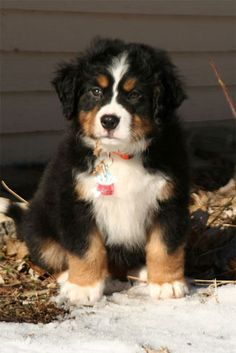 So Swiss...............Bernese Mountain puppy :)