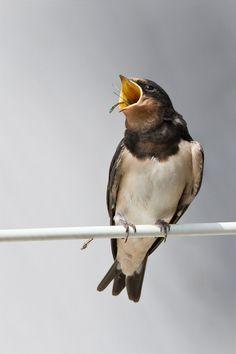 Macro By Proxy - Baby Barn Swallow