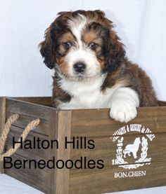 Bernedoodle puppy Adorable Dogs, Adorable Animals, Cute Puppies, Dogs And Puppies, Bernese Mountain, Mountain Dogs, Bernedoodle Puppy, Dog Heaven, Golden Retrievers