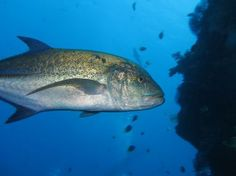 Trevally (Cariangidae) at Koh Chi dive site Surin Islands Thailand.