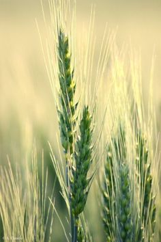 It's amazing watching the ripening fields of the countryside. Something so beautiful, carrying a promise of warm, golden summer within it. Felder, Foto Art, Color Of Life, Macro Photography, Amazing Nature, Shades Of Green, Science Nature, Spring Time, Mother Nature