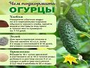 надежда горчакова - Фотография из альбома | OK.RU Maker, Gardening Tips, Cucumber, Photo Wall, Fruit, Food, Ursula, Wall Photos, Wi Fi