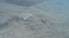 Snorkelling with an angel shark