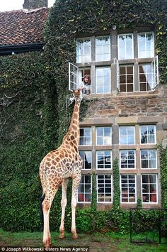 As well as swinging by for food, the nosey giants also have a reputation for poking their heads through the hotel doors and even peeking through the windows of guest's bedrooms