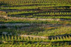 Tokaj, Vineyard, Barta Winery Wineries, Wine Country, Vineyard, Outdoor, Wine, Vine Yard, Outdoors, Wine Cellars, Vineyard Vines