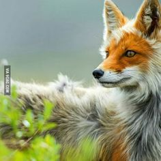 Age is but a number, clearly shown by this beautiful old fox