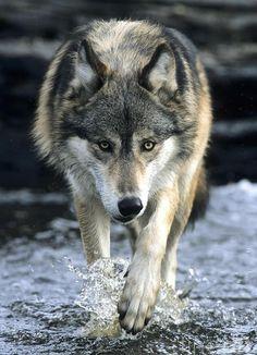 WOLF IN WATER - Pixdaus