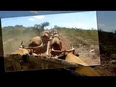 Festas de Carros de Boi: Carro de boi sendo puxado por 7 juntas de boi cant...