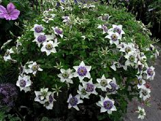 Google Image Result for http://www.clematis-nursery.co.uk/wpimages/wp30bfaed9_02.jpg