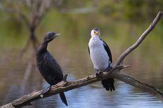 Little Black Cormorant (Phalacrocorax sulcirostris) and Little Pied Cormorant (Phalacrocorax varius)