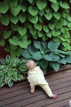 piippuköynnös,terassi,istutuslaatikko,puutarha