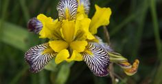 """The true Iris variegata, or Hungarian iris, is named for the variegated patterns on the flowers. However, variegated-leaf cultivars of other species exist (e.g., Iris pallida 'Variegata'. Tempering one's expectations is warranted when purchasing an """"iris... #asparagales #hungary #iridaceae"""