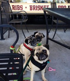 Lunch with Louis Armadillo Willys. Pug