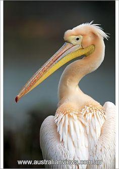 White pelican, (Pelecanus onocrotalus), adult portrait from Australian Views Fine Art Prints, Framed Prints, Canvas Prints, Bird Prints, Pelican Drawing, Bird Painting Acrylic, Photo Mugs, Photo Gifts, Animal Totems