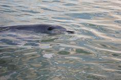 Dolfijn in Monkey Mia