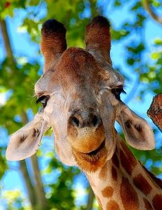 hes such a cute giraffe! Smiling Animals, Happy Animals, Animals And Pets, Funny Animals, Cute Animals, Exotic Animals, Wild Animals, Cute Creatures, Zebras