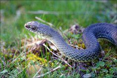 Montpellier Snake (Malpolon monspessalanus) | One of two adu… | Flickr