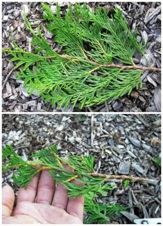 How to propagate thuja with cuttings in summer and autumn - detailed instructions Growing Vegetables In Containers, Container Gardening Vegetables, Home Vegetable Garden, Herb Garden, Garden Crafts, Diy Garden Decor, Thuja Smaragd, Bonsai Pruning, Straw Bale Gardening