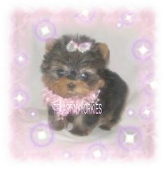COM offer the most exquisite teacup Yorkies, tiny teacup Yorkies, and tiny Yorkie puppies that you will find anywhere. Micro Teacup Yorkie, Yorkie Puppy, Tea Cups, Teddy Bear, Puppies, Yorkies, Animals, Cubs, Animales