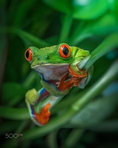 Red Eyed Tree Frog - red eyed tree frog sitting on pothos plant