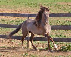 smoky grullo silver - Rocky Mountain stallion Alliance's Gone N Dun It