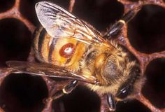 A female varroa mite, Varroa destructor, feeds on the hemolymph of a worker bee. The mite is the oval, orange spot on the bee's abdomen.