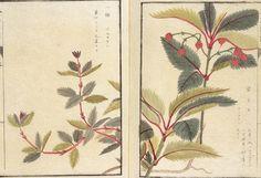 """На сайте музея токийского университета лежит травник эпохи Эдо """"Honzo-Zufu""""; более 700 потрясающих иллюстраций японских трав и растений авторства Kanen Iwasaki. Сходите , не пожалеете! Красота невозможная на мой взгляд )) там и грибочки есть"""