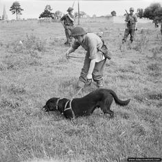 "July 5, 1944: A sapper from No. 1 Platoon, 277th Field Park Company, Royal Engineers, with his mine detector dog ""Nigger"" in the area of Bayeux."
