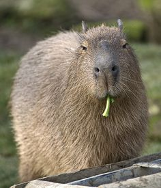 Capybara...saw these in Costa Rica.  It is the largest extant rodent in the world. Its closest relatives are agouti, chinchillas, coyphillas, and guinea pigs.  Sweet and stout.