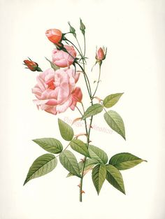 Vintage BOTANICAL Chart Print French 1700s REDOUTE ROSE Chinese rose varieties flower illustrations to frame via Etsy